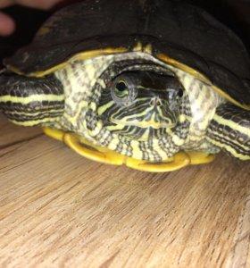 Черепаха 🐢 красноухая
