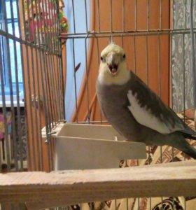 Попугай карелла с большой клеткой
