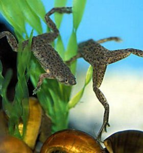 Лягушка карликовая