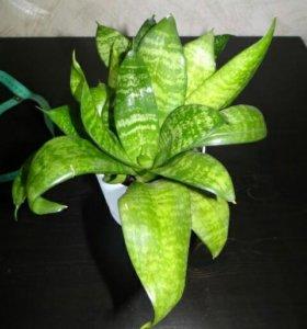 Комнатное растение. Сансевиерия