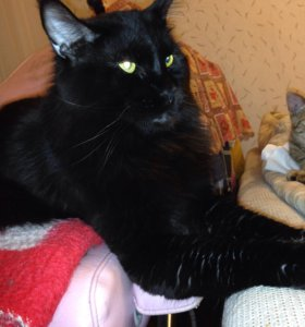 Котик Мейн Кун ищет подружек