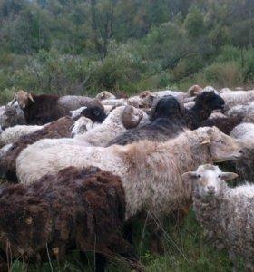 Овцы на завод