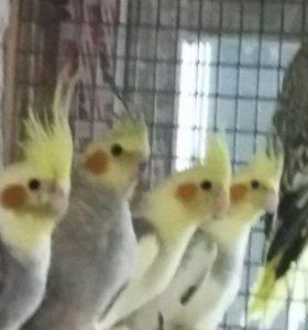 Птенцы попугая кореллы