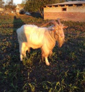 Продается племенной козел