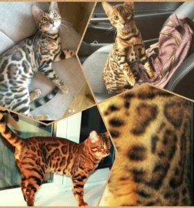 Вязка с Бенгальским котом можно за котёнка
