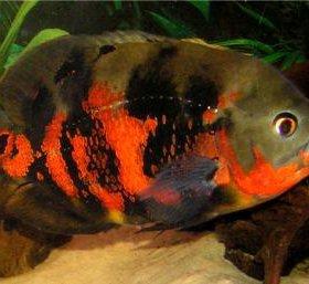 Рыба Оскар