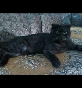 Вислоухий кот