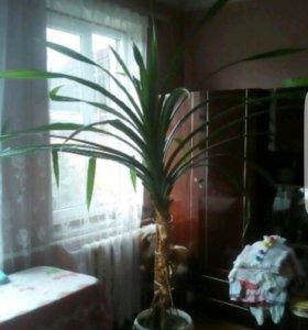 пальма колючая