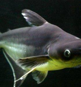 Акулий сом ( пангасиус)