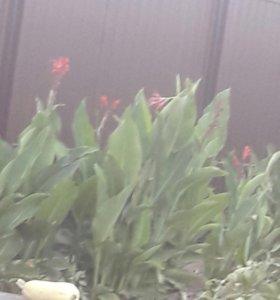 Цветы каны