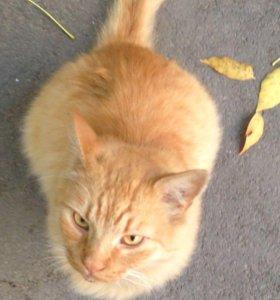 Рыжий пушистый кот в добрые руки!