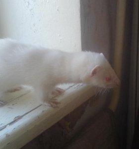 Хорёк - альбинос