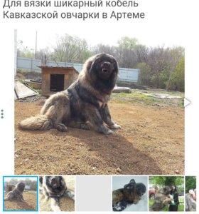 Кавказец на вязку!