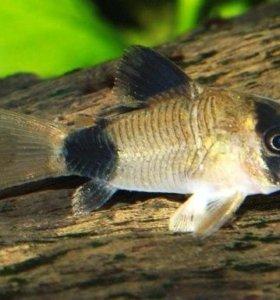 Рыбка Коридорас Панда