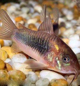 Рыбка Коридорас золотистый