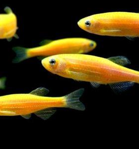 Рыбка Данио зеленый, оранжевый, голубой глофиш