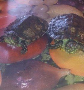 Красноухие черепашки с аквариумом