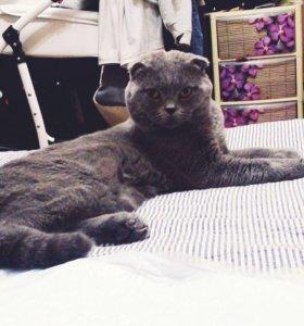 Шотладский вислоухий котик на случку