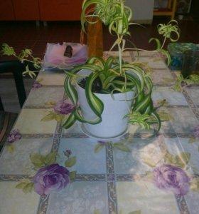 Цветок хлорофитум хохлатый.