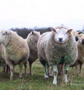 Продам овец,барана,козу дойную.