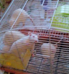 Продам крысят.