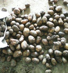 Картофель кормовой для животных