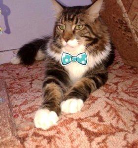 Вязка с шикарным котом.породы Мейн кун