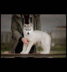 Щенок  Сибирский Хаски