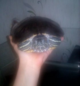 Черепахи красноухие 2 шт