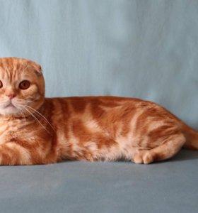Вязка с шотландским вислоухим котом Чемпионом Мира