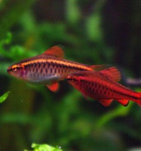 Рыбка Барбус вишневый