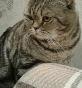 Шотланский кот на вязку