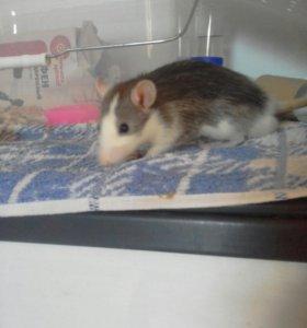 Декоративные крысы 89002715589