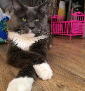 Кот мейн-кун на вязку