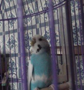 Продам семейную пару попугайчиков