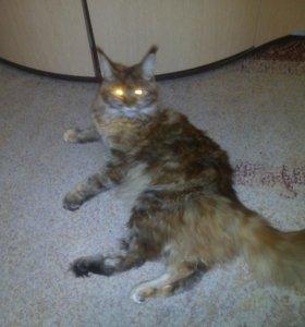 Нужен кот мэйнкун
