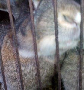 Кролики фландеры и серые(на мясо)
