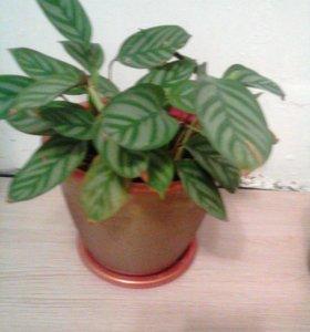 Неприхотливое растение