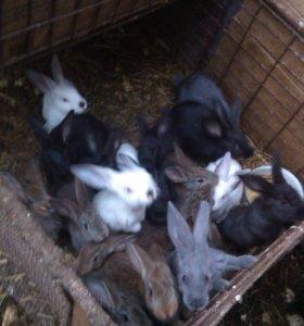 Мясные кролики