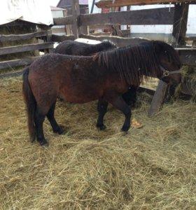 Шетледский пони