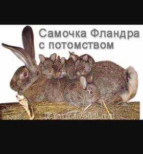 Кролики фландеры 6 мес