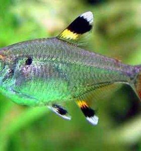 Рыбка Пристелла