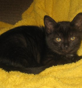 Подарю черного котенка