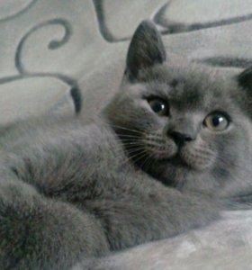 Котёнок (Британской породы)