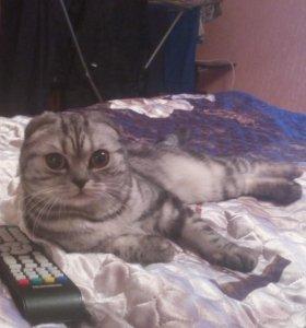 Ищу кота Скотишь Страйт для вязки...