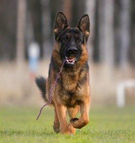 Дрессировка собак, кинолог