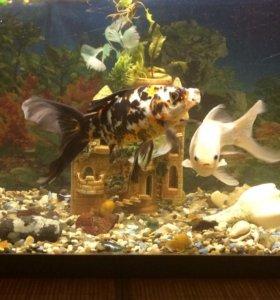 Аквариум с золотыми рыбками, рыбки