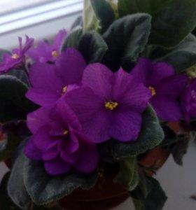Цветы фиалки, герань