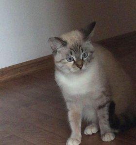 Сиамская кошка 🐱