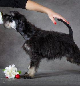 Продается щенок цвергшнауцер